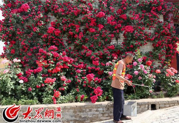 环卫工人在满墙开满月季花的屋子前清扫卫生_副本_副本.jpg