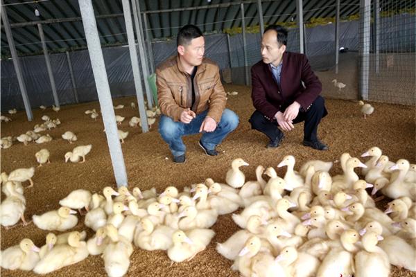 韩玉国(右)到村致富能手李松的养鸭厂调研。_副本.jpg