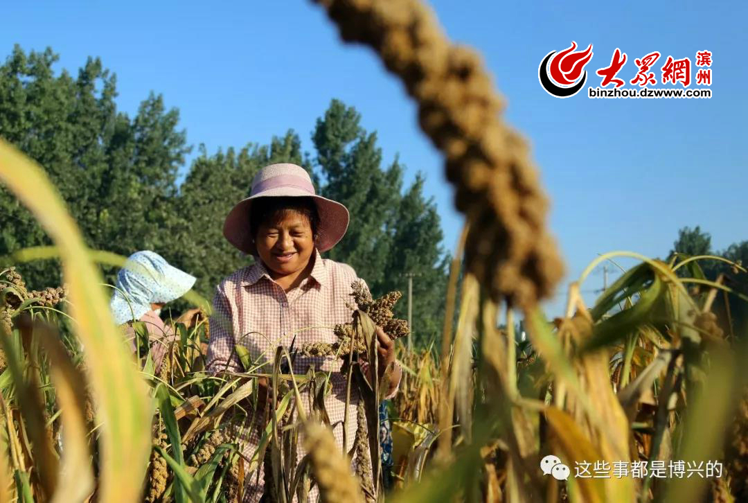 9月23日,在山东省滨州市博兴县湖滨镇鲁祝村,农民在收割成熟的谷子。
